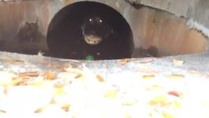 Znalazł w kanalizacji przed domem coś niepokojącego