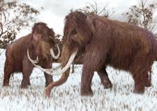 Znaleziony w stawie w Wodzisławiu cios mamuta trafi na wystawę