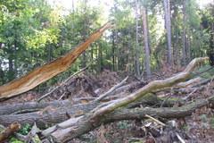 Zniszczony las w rejonie Kuźni Raciborskiej