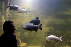 Zobacz arapaimę - największą rybę słodkowodną świata