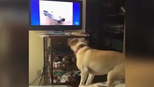 Zobaczył psa w telewizji i oszalał