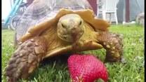 Żółw chciał zjeść truskawkę
