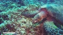 Żółw głodomór zjada rafę koralową
