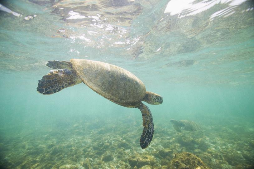 Żółw morski; zdj. ilustracyjne /© Glowimages