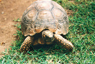 Żółw /Encyklopedia Internautica