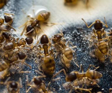 Zwalczamy mrówki faraona