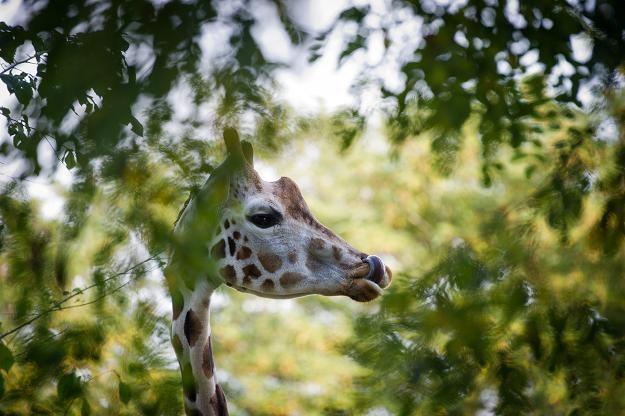 Żyrafa Tofik padła podczas zabiegu. Są wyniki sekcji zwłok /PAP