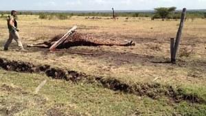 Żyrafa wpadła w elektryczne sidła