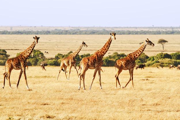 Żyrafy w Kenii /123/RF PICSEL