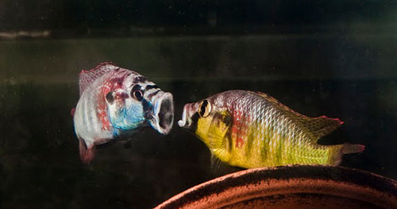 Wygląda na to, że nie tylko człowiek może się rano przestraszyć swego odbicia w lustrze. Ryby bardziej obawiają się swojego odbicia, niż rzeczywistego przeciwnika, z którym muszą walczyć - twierdzą naukowcy z Uniwersytetu Stanforda. Ich badania pokazały, że mózg ryby w konfrontacji ze swym własnym obrazem reaguje silniej w rejonie odpowiadającym za lęk, niż wtedy, gdy za szybą widać inną rybę.