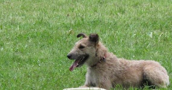 """Po Wrocławskim Parku Południowym przez cały weekend """"latają"""" psy. Ponad stu zawodników z psami startuje w zawodach psiego frisbee. Konkurencje polegają na wykonaniu razem z czworonogiem określonych figur, gdy pies będzie próbował złapać latający dysk."""
