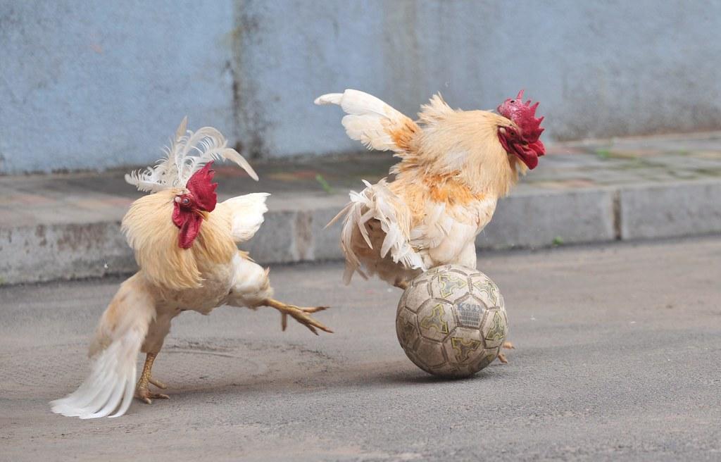Прикольные картинки с петухами и курицами