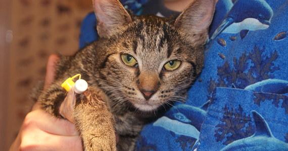 """Stan kota, maltretowanego przez trzyletnie dziecko, jest stabilny. Pozostałe zwierzęta, które trafiły do nas od tych samych właścicieli, są przerażone. Reagują strachem na widok człowieka - mówi reporterowi RMF FM lekarz weterynarii Malwina Czerwiecka z krakowskiego schroniska, do którego trafiły zwierzęta. Film """"kot kaskader"""", na którym widać, jak trzylatek dusi kota i rzuca nim o ściany, wstrząsnął tysiącami internautów w Polsce i na świecie."""