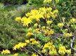 Magotko oto zbliżenie kwiatów dla Ciebie. Azalia jest krzewem ozdobnym.:-)
