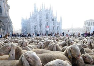 Setki owiec przed katedrą w Mediolanie