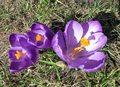 Krokus - krok do wiosny