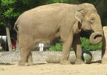 Słonica Magda z łódzkiego zoo świętowała 50. urodziny. Zobacz film