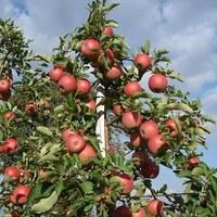 Jabłka grójeckie