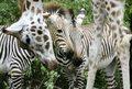 Żyrafa podejrzana o organizację ucieczki z cyrku