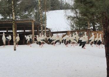 Zima zabija bociany. Możemy im pomóc!