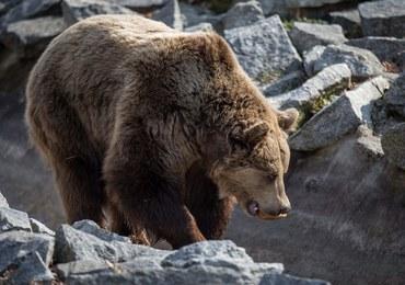 Atak niedźwiedzia na Słowacji. Mężczyzna jest ciężko ranny