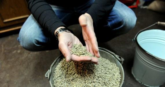 """""""Cudowne"""" środki na odchudzanie, które nie działają, a mogą być szkodliwe. Coraz więcej ostatnio się o nich mówi. I oto w najnowszym numerze czasopisma """"Journal of Agricultural and Food Chemistry"""" naukowcy rozwiewają nadzieje związane z kolejnym z nich. Tym razem chodzi o zieloną kawę, a dokładnie występujący w niej, a nieobecny w palonych ziarnach kawy, kwas chlorogenowy (CGA)."""
