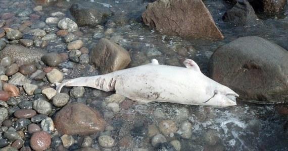 8 września spacerujący wybrzeżem niemieckiej wyspy Fehmarn mężczyzna natrafił na martwego delfina białonosego. Walenie te są rzadkością w wodach Morza Bałtyckiego.