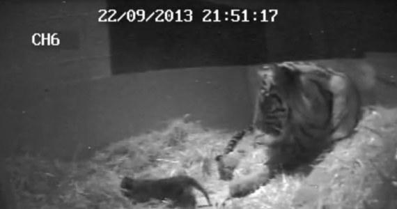 Dzięki ukrytym kamerom udało się zarejestrować moment urodzin małego tygryska w londyńskim zoo. To pierwszy przypadek urodzin tygrysa w tym ogrodzie od 17 lat.