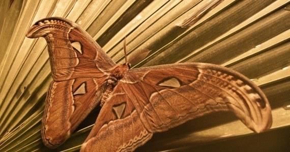 """Gdańskie zoo chwali się """"Pawicami Atlas"""" - największymi ćmami świata. Rozpiętość ich skrzydeł to sporo ponad 20 cm. W sierpniu do zoo trafiły larwy. Teraz poczwarki zaczęły przeobrażać się w ćmy. Do tej pory dorosłą postać osiągnęły 3 osobniki."""