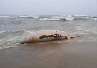 Bałtyk wyrzucił na brzeg wala butelkonosego