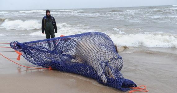 Martwy wieloryb, wyrzucony na brzeg Bałtyku w Łazach w Zachodniopomorskiem, jest już transportowany do stacji morskiej na Helu. Ciało ssaka udało się umieścić na ciężarówce. Wieloryb leżał na plaży od piątku. Naukowcy chcą, by trafił na ekspozycję przy Domu Morświna w Helu.