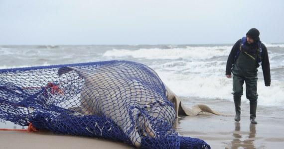 Do niemieckiego Stralsundu trafią szczątki wala butelkonosego, który został znaleziony w zachodniopomorskich Łazach. Tamtejsi naukowcy zajmą się preparacją szkieletu wieloryba. Po tym zabiegu wróci on do Helu.