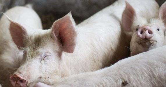 Świńskie ultimatum wobec ministra rolnictwa. Hodowcy trzody protestujący w Łosicach żądają od Stanisława Kalemby zdecydowanych działań w sprawie skupu. Grożą, że w przeciwny razie nieskupione świnie przyprowadzą do Warszawy.