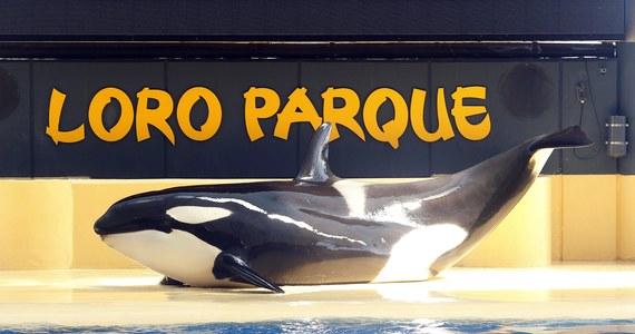Holenderski sąd ostatecznie zdecydował o losie orki, uratowanej przed śmiercią cztery lata temu. Zwierzę znaleziono u wybrzeża Holandii. Ostatecznie trafiło do parku rozrywki na Wyspach Kanaryjskich. Sprzeciwili się temu ekolodzy, walczący o wypuszczenie jej do morza. Sąd uznał jednak, że Loro Parque jest dla Morgan idealny.