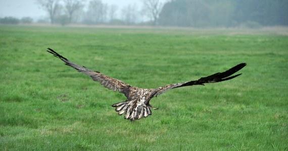 """Historię cudem uratowanego orła opisuje najnowszy """"Fakt"""". Ptak wrócił na wolność z nadajnikiem GPS."""
