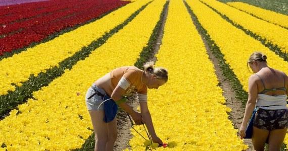 W Holandii nadal są wykorzystywani pracownicy z Polski, Rumunii i Bułgarii. Z raportu holenderskiego Ministerstwa Spraw Społecznych i Zatrudnienia wynika, że w zeszłym roku ponad pół tysiąca osób z tych krajów zarabiało poniżej minimum płacowego w Holandii.