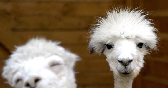 35 samic i 3 samce alpak zostały sprowadzone z Chile przez rzeszowską Wyższą Szkołę Informatyki i Zarządzania do Centrum Zooterapii w Kielnarowej. Te egzotyczne zwierzęta będą wykorzystywane do alpakoterapii. Ta forma zooterapii sprawdza się szczególnie w przypadku dzieci autystycznych i z problemami emocjonalnymi. Alpaki to zwierzęta wielbłądowate, dające jedno z najcenniejszych i najdroższych włókien - nazywane także alpaką.