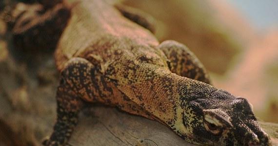 Niezwykle odkrycie francuskich naukowców! Ślina największych na świecie jaszczurek – waranów z Komodo – może być według nich bardziej skuteczna niż morfina. Zawiera bowiem silną substancję znieczulającą.