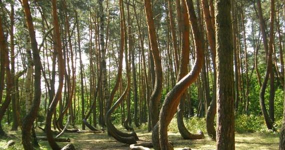 Ten las budzi zdziwienie. Na powierzchni 0,03 ha rośnie około setki sosen z pniami uformowanymi w kształt litery C. To tajemniczy Krzywy Las pod Gryfinem.