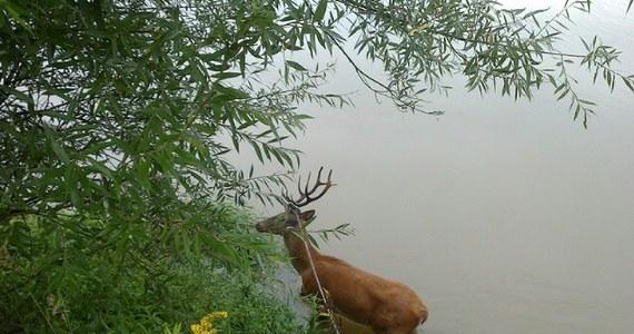 Po czterogodzinnej akcji udało się uratować jelenia, który wpadł do śluzy wodnej  niedaleko toru kajakowego przy ulicy Kolnej w Krakowie. Ważącemu ponad 80 kg zwierzęciu podano środek uspokajający. Rogacz o własnych siłach wrócił do lasu.