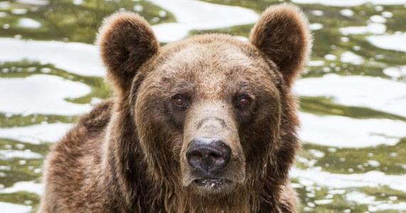 Niedźwiedź brunatny pojawił się w rejonie Magurki Wilkowickiej w Beskidach. Nadleśniczy z Bielska-Białej Hubert Kobarski przestrzegł, że spotkanie oko w oko z drapieżnikiem może być niebezpieczne i lepiej nie wchodzić mu w drogę.