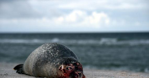 Już ponad dwieście martwych fok znaleziono w ostatnich tygodniach na niemieckim wybrzeży Morza Północnego. Naukowcy ustalają przyczynę tego pomoru.