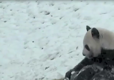 Panda po raz pierwszy bawi się w śniegu