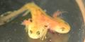 Dwugłowa salamandra. Naukowcy: To zły znak