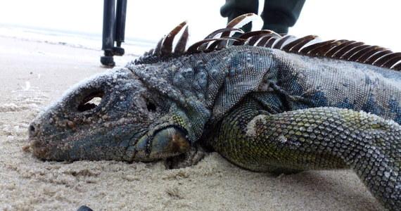 Naukowcy liczący ptaki na niemieckiej wyspie Mellum dokonali niezwykłego odkrycia. Znaleźli na plaży martwego legwana zielonego. Nie byłoby w tym nic dziwnego, gdyby nie fakt, że środowiskiem naturalnym tego zwierzęcia jest Ameryka Południowa.