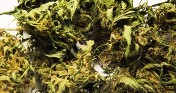 Silna odmiana marihuany odpowiedzialna jest za jeden procent przypadków psychoz. To wyniki raportu naukowców z uniwersytetu w Londynie. Badania przeprowadzili w grupie 780 osób. Znajdowali się w niej zarówno użytkownicy marihuany, jak i abstynenci.