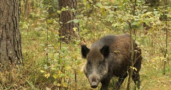 W woj. podlaskim znaleziono sześć padłych dzików, które były zarażone afrykańskim pomorem świń (ASF). Zwierzęta znaleziono niedaleko granicy z Białorusią - poinformowały służby weterynaryjne.
