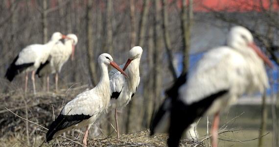 Współczesne bociany chętniej szukają pokarmu na wysypiskach śmieci niż na łąkach. To konsekwencja zmian klimatycznych. Zmieniła się baza pokarmowa tych ptaków, a nawet trasy wędrówki. Bociany lecą do Izraela, na południe Francji, czy Hiszpanii, ale już do Maroka dolatują nieliczne - mówi w rozmowie z dziennikarzem RMF FM prof. Zbigniew Endler z Uniwersytetu Warmińsko-Mazurskiego.