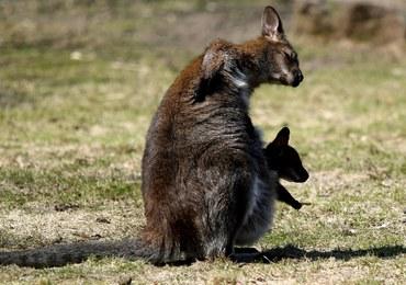 Nie żyje kangurzyca, która uciekła z zoo