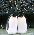 Triumf pingwinów w USA
